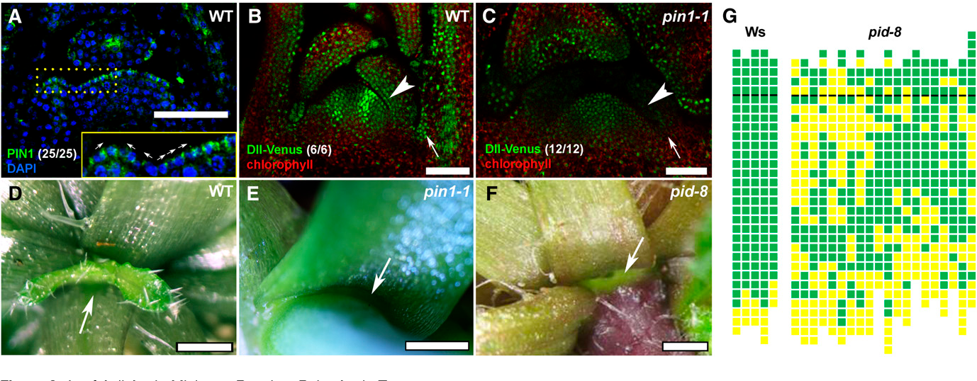 Figure 3. Leaf Axil Auxin Minimum Requires Polar Auxin Transport.