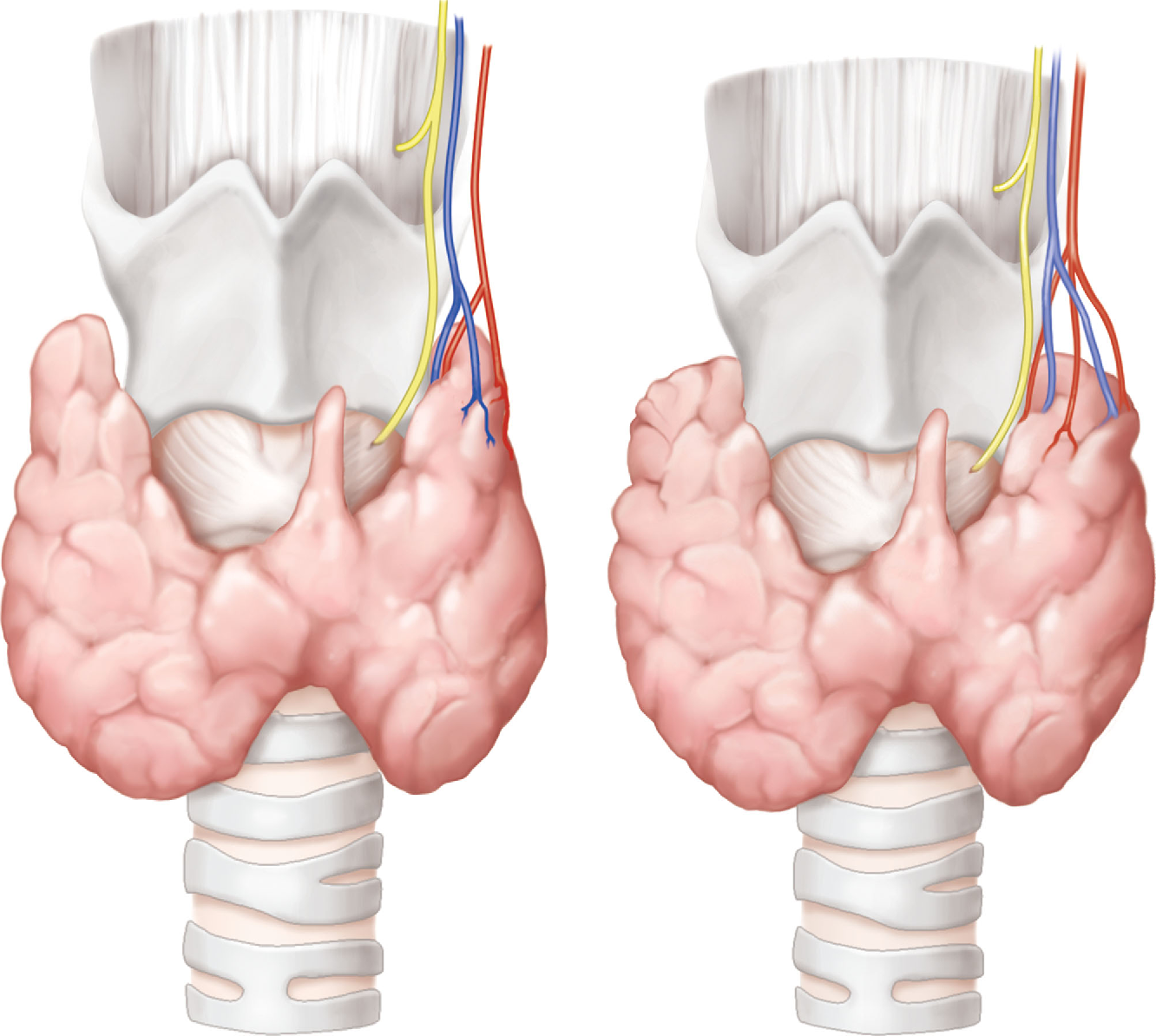 Proposal For Anatomical Classification Of The Superior Pole In