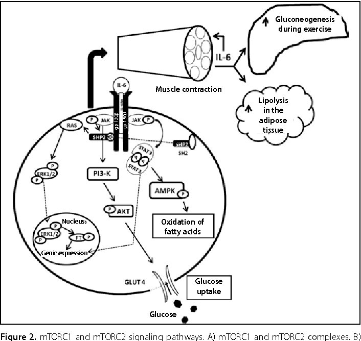 Of Exercise On The Immune System Response Adaptation And Cell