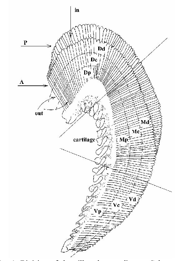 Clam Glochidia