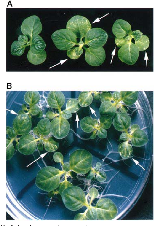 Fig. 7. The phenotype of transgenic tobacco plants grown on medium containing elevated levels of Mg2 or Zn2 . (A) Shoots of tobacco plants that were grown in tissue culture in Nitsch medium (Nitsch, 1969) containing 60 mM Mg2SO4 (compared with 0.75 mM in a standard Nitsch medium). Arrows indicate the necrotic lesions in the two independent transgenic tobacco lines 2 (right) and 9 (middle), which do not appear in the non-transformed plant (left). (B) Tobacco plants grown in a tissue culture plate in Nitsch medium containing 0.175 mM Zn2SO4 (compared with 0.035 mM in a standard Nitsch medium). The plate was divided to three zones: bottom, nontransformed plants; upper, the two transgenic lines 2 (right) and 9 (left). Arrows indicate the necrotic lesions in leaves of the transgenic plants.