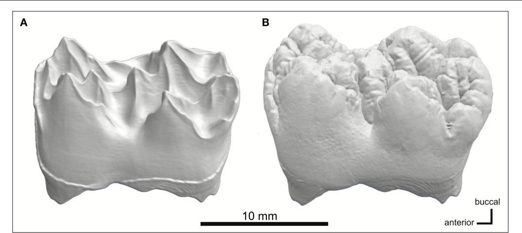 A microCT Study of Three-Dimensional Patterns of Biomineralization ...