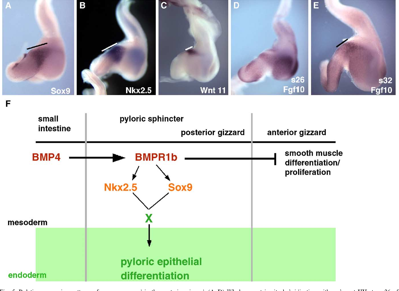Figure 5 From Sox9 And Nkx25 Determine The Pyloric Sphincter