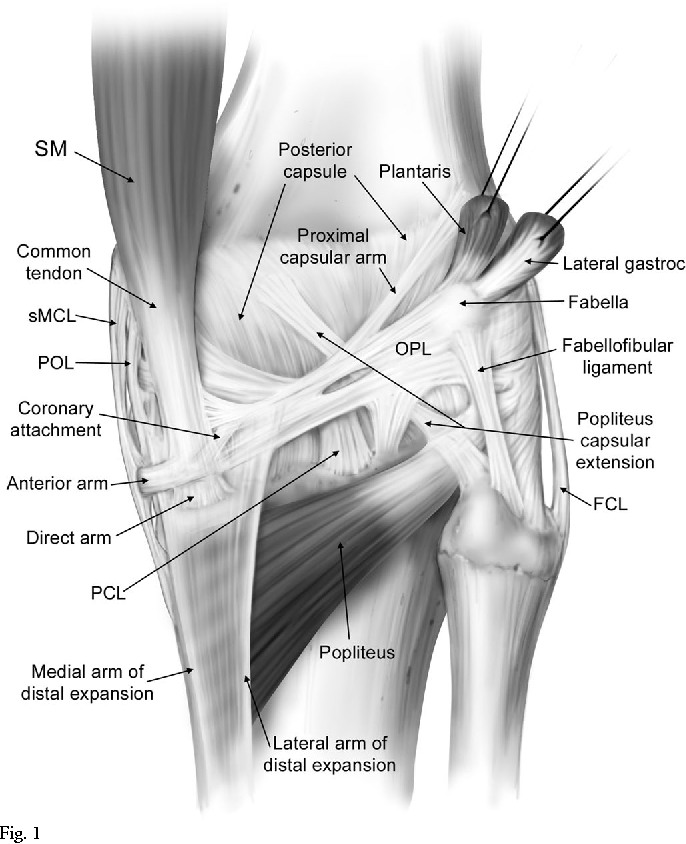 The anatomy of the posterior aspect of the knee. An anatomic study ...