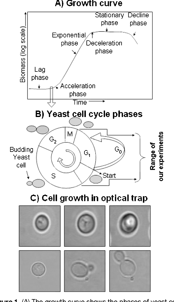 The Lag Phase And G 1 Phase Of A Single Yeast Cell Monitored By