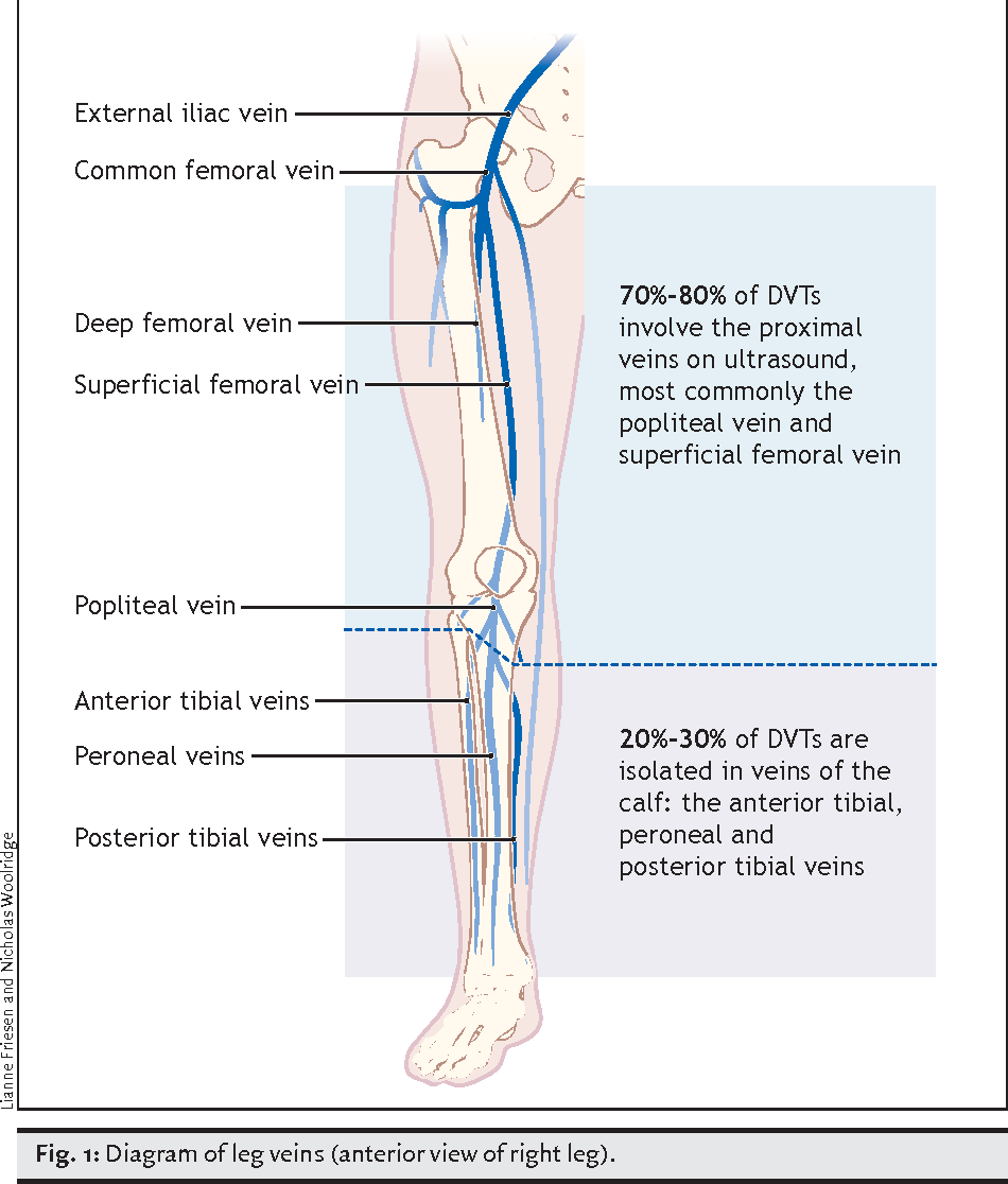 Diagram Superficial Femoral Vein - Electrical Drawing Wiring Diagram •