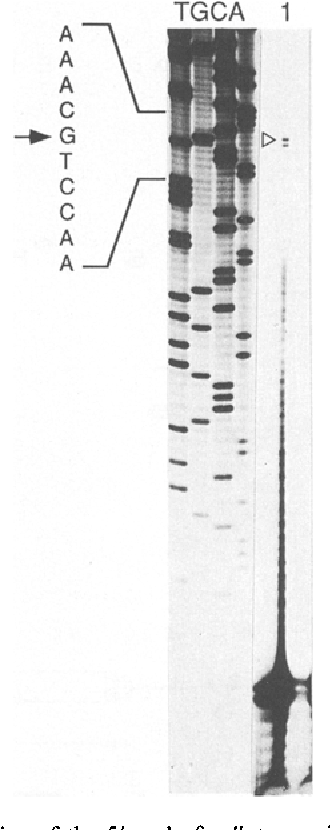 Fig. 3. Mapping of the 5' end of pdk transcripts by primer extension analysis. Two/~g of leaf poly(A) + RNA was hybridized with the 32p-labelled gene-specific antisense primer and the extension reaction with reverse transcriptase was carried out as outlined in Materials and methods. The reaction mixture was loaded on a sequencing gel (lane 1), a DNA sequence generated with the same primer was loaded in parallel. The gel was exposed for 12 h. The transcription initiation site is indicated within the sequence, only the largest cDNA fragment generated by reverse transcription was considered.