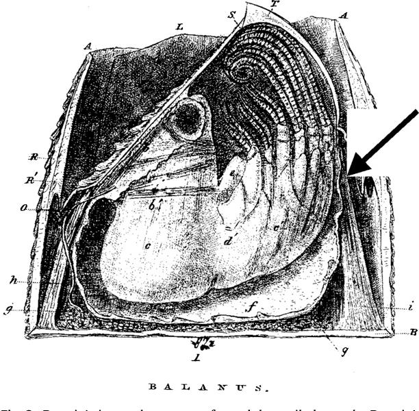 Figure 3 From Darwin And Barnacles Semantic Scholar