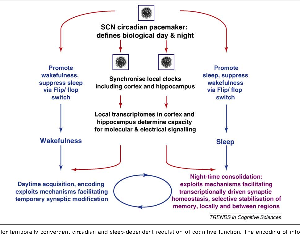 Genetic Convergence Between Cognition >> Figure 2 From Circadian Clocks Genes Sleep And Cognition