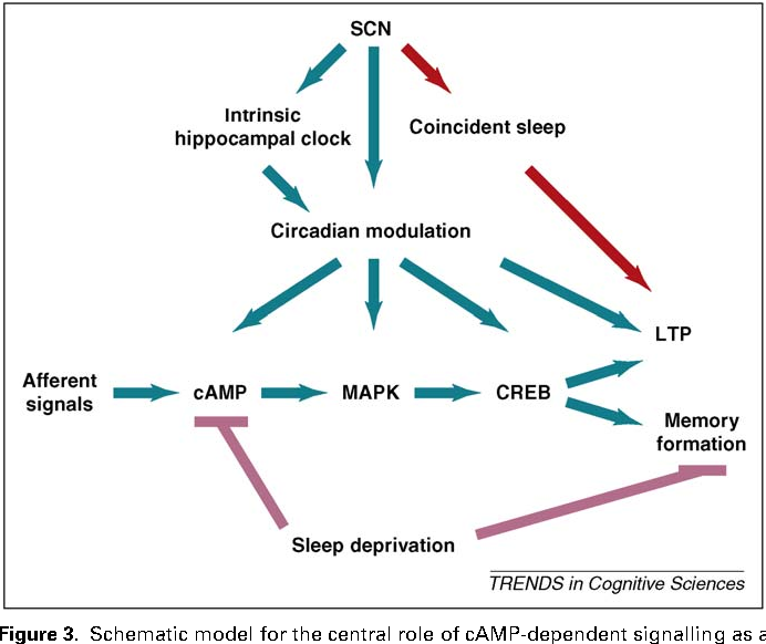 Genetic Convergence Between Cognition >> Figure 3 From Circadian Clocks Genes Sleep And Cognition