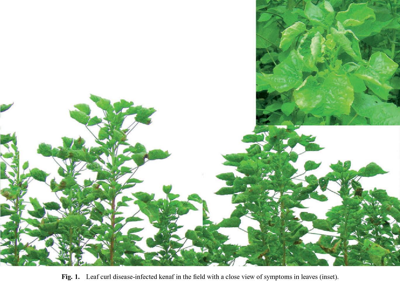 Occurrence Of A Dna β Containing Begomovirus Associated With Leaf