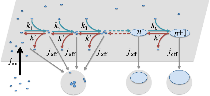 Fig. 1. Sketch of our out-of-equilibrium model of cluster dynamics: inside the membrane (in gray), clusters can eject and capture monomers, with respective reaction rates k′ and kn for a cluster of size n. Monomers are injected in the system from the cytosol (black arrow on the left) with rate jon, whereas vesicles (gray spheres) are taking material from the membrane to the cell interior (gray arrows). Thus clusters are extracted from the membrane with a rate joff independent of their size.