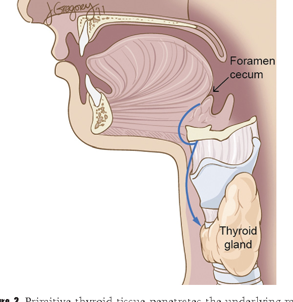 Anatomy And Embryology Of The Thyroid And Parathyroid Glands