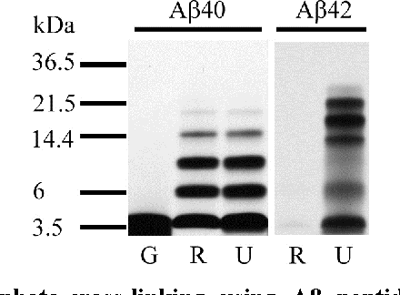Figure 1: Comparison of photo-cross-linking using Aβ peptides from different sources. Synthetic Aβ from Global Peptide (G) and the UCLA Biopolymers Laboratory (U), and recombinant Aβ from rPeptide (R) were prepared in 10 mM sodium phosphate, pH 7.4, at 2 mg/mL nominal concentration and filtered through a 10-kDa molecular-weight cut-off filter [106]. Each filtered peptide was cross-linked using PICUP [98]. The resulting cross-linked oligomers were subjected to SDS-PAGE and silver-staining. The data suggest that Aβ40 from Global peptide contained contaminants that prevented cross-linking and that Aβ42 from rPeptide aggregated during the filtration step and was hardly detectable.