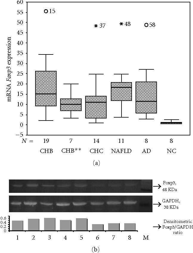 Figure 1: Expression of Foxp3 in different hepatic diseases. (a) Boxplot diagram of the relative expression of Foxp3 in the different disease subgroups (CHB: chronic HBV hepatitis, CHB∗∗: chronic HBV hepatitis at relapse, CHC: chronic HCV hepatitis, NAFLD: non-alcoholic fatty liver disease, AD: autoimmune diseases/autoimmune hepatitis and primary biliary cirrhosis, and NC: normal controls). (b) Western blot analysis of the expression of FOXP3 and GAPDH. Lane 1: patient with CHC; Lanes 2 and 3: patients with CHB; Lane 4: patient with NAFLD; Lane 5: patient with autoimmune hepatitis; Lanes 6–8: normal controls; M: SeeBlue Plus2 Prestained Standard (Invitrogen, UK).