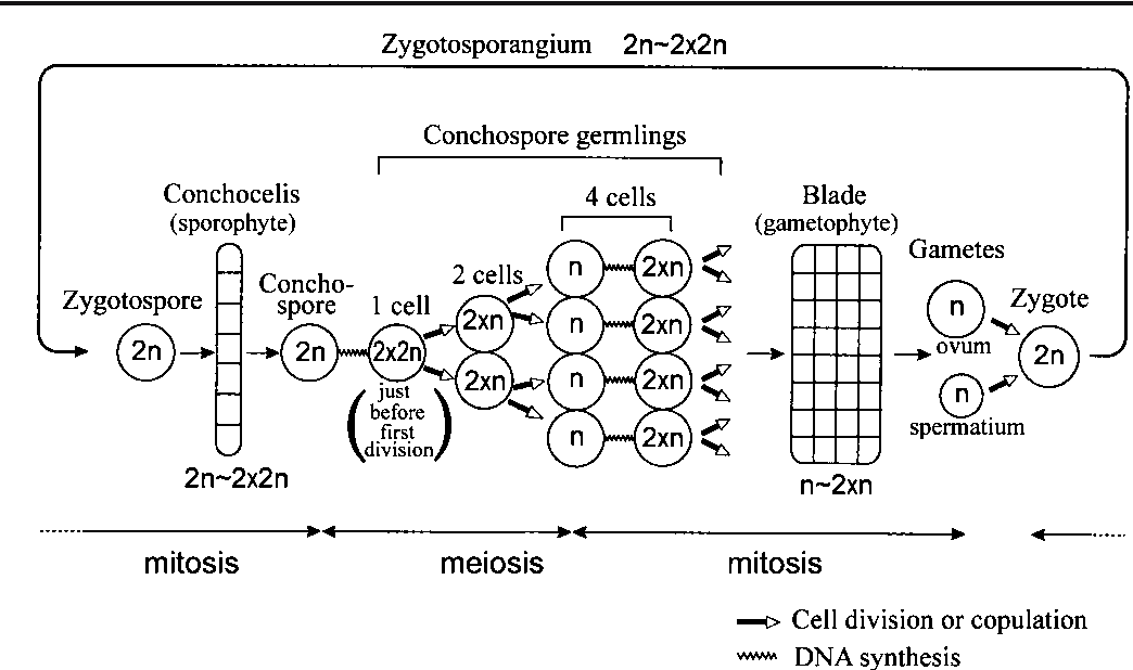 Figure 1 from identification of porphyra yezoensis rhodophyta 1 a schematic diagram showing the porphyra yezoensis life cycle expected changes in ccuart Images