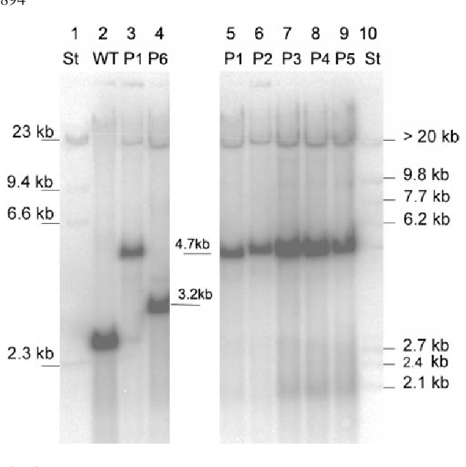 "Fig. 3 Southern hybridization for proof of homoplasmy. For proof that there is no heteroplasmy in plants with lower expression levels, we used as probe a plastome specific fragment containing trnR positioned at nt 109230–110348 within the direct repeat. Plant DNA was cut by ApaI. For wild type (Wt) a 2,649 bp signal is expected. Lane 1 has DNA standard. Lane 2 has wild type. Lanes 3–9 have DNA of series P1–P6. Lane 10 has DNA standard. For intact transformants, a 4.7 kb signal is expected. P6 is a transformant with partially deleted phb operon. The slope on the right side is due to a ""smiling"" effect of the Southern gel"