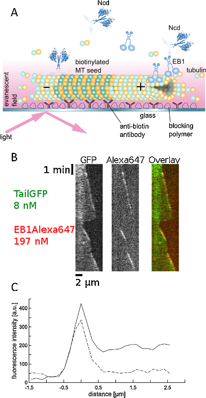 Figure 4 from Insights into the process of EB1-dependent tip