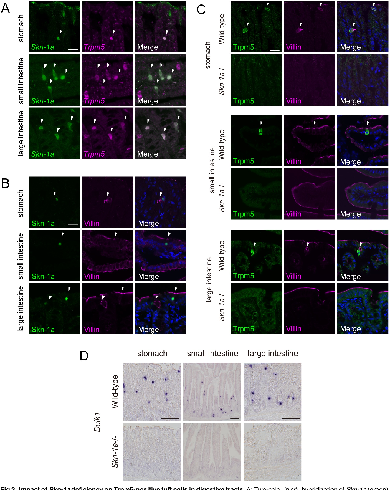 Frontiers | ENaC in Cholinergic Brush Cells | Cell and