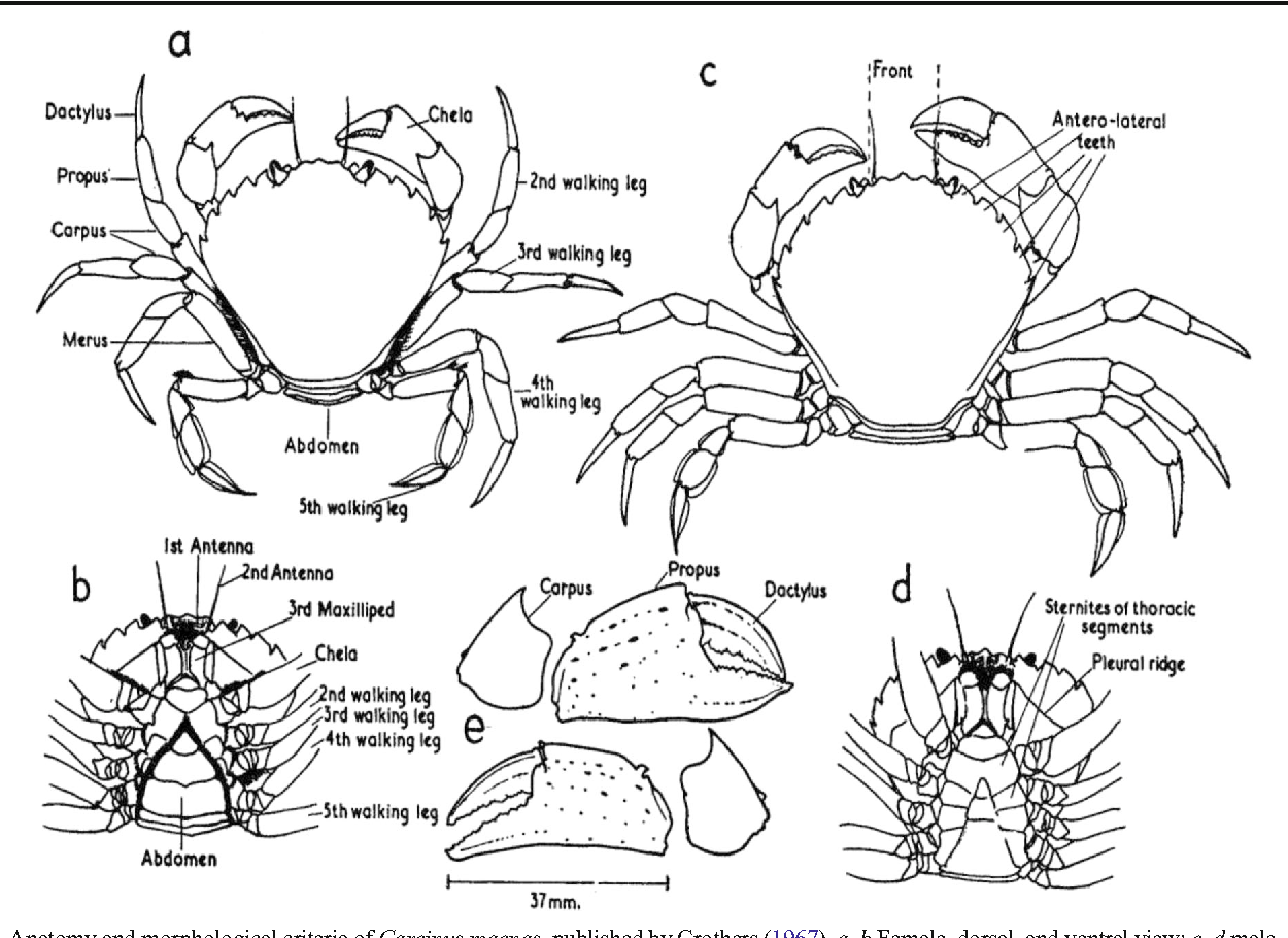 Figure 1 from Overview on the European green crab Carcinus spp ...
