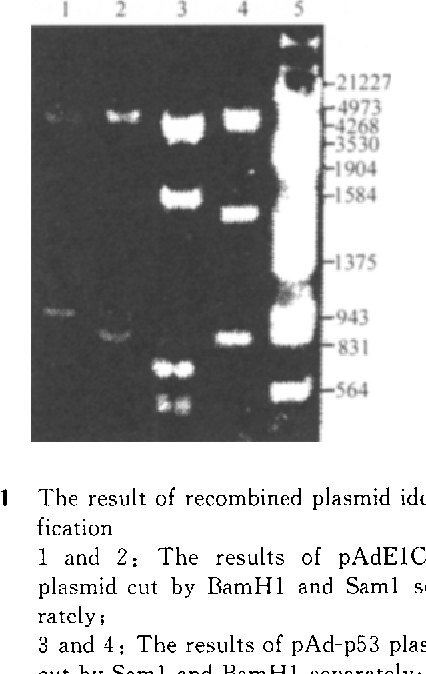 Fig. 1 The result of recombined plasmid identification