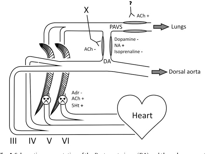 Figure 4 From Autonomic Control Of Circulation In Fish A