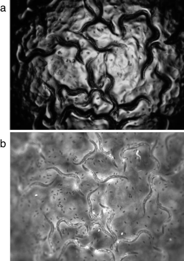 Figure 1 for Towards automated high-throughput screening of C. elegans on agar