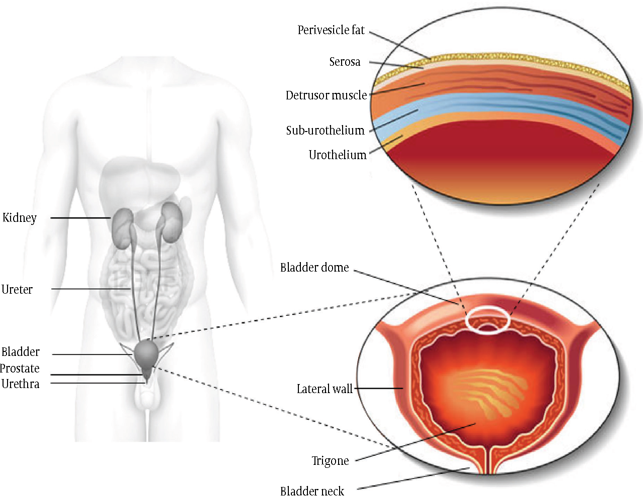 Figure 1 from Overactive Bladder Syndrome and the Potential Role of ...