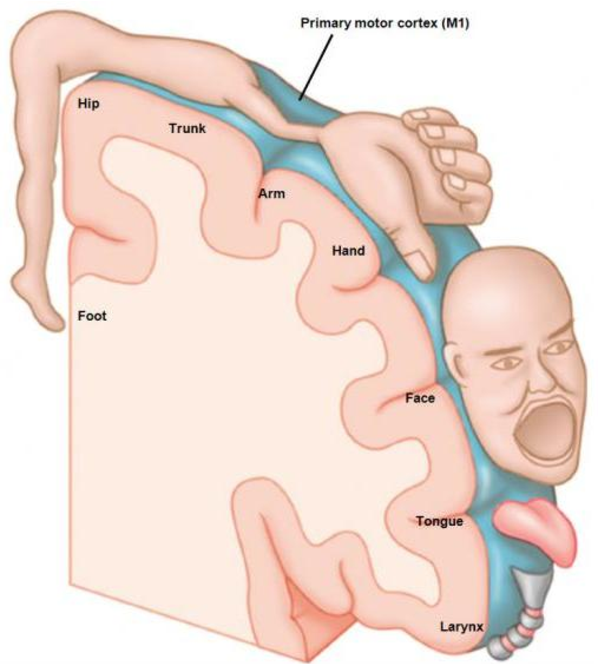 Figure 1. The Homunculus; A pictoral view of the somatosensory map with body parts scaled in sizes proportional to their cortical representation (reproduced with permission from Posit Science Corporation)