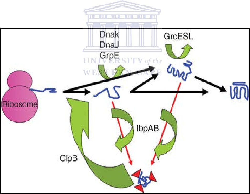 Figure 1.3: The pathways through which unfolded or denatured proteins are processed (adapted from Luo et al., 2009)