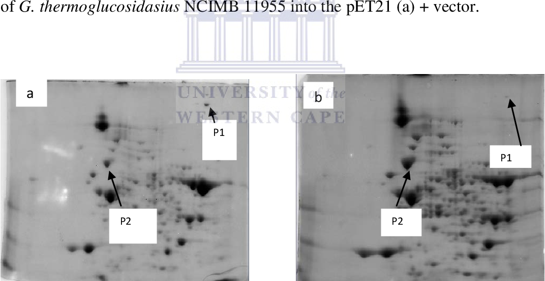 Figure 3.1: 2-D gels of the soluble proteins extracted from cultures of G. thermoglucosidasius NCIMB 11955 stressed with 0 and 5% ethanol, respectively. (a) 0% ethanol condition and (b) 5% ethanol conditions. Protein spot P1 was down and protein spot P2 was up-regulated as ethanol concentrations in the growth medium were increased. The gels were reproduced in triplicates. Similar patterns for each condition were noted obtained (Charewa, 2008)