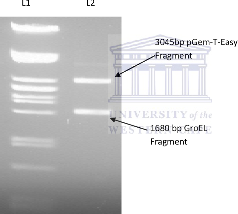 Figure 3.4: Agarose gel electrophoresis of the restriction enzyme digests to assess the presence of GroEL in the p-Gem- T- easy/ GroEL construct. Lane 1: λ DNA digested with Pst I. Lane 2: Restriction digestion of the pGem- T- easy/ GroEL construct digested with Not 1