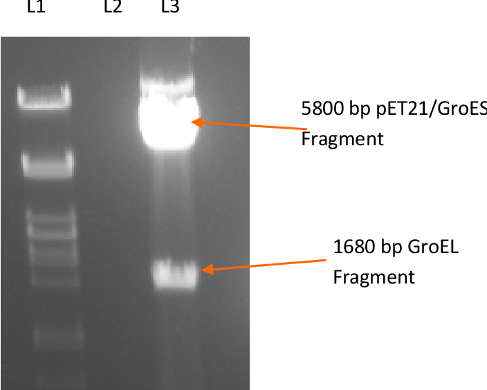 Figure 3.5: Restriction digest to assess the presence of GroEL in the pET21 (a) +/ GroESL construct. Not 1 was used to digest the construct. Lane 1: λ DNA digested with Pst I. Lane 3: pET21 (a) +/ GroESL construct digested with Not 1