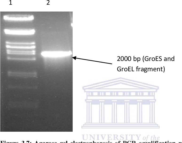 Figure 3.7: Agarose gel electrophoresis of PCR amplification products of the pET21 (a)+/ GroESL construct using primers W1 and W5, to verify the presence and direction of the GroES and GroEL fragments in the construct. Lane 1: λ DNA digested with Pst I. Lane 2: 2000 bp PCR amplicon.