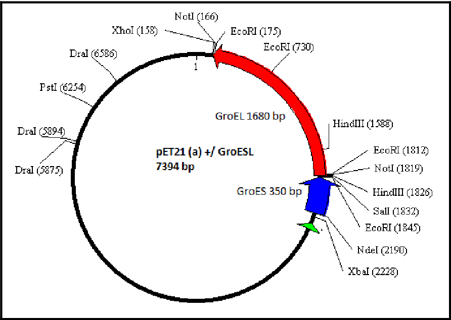 Figure 3.9: Restriction map 0f the pET21 (a) +/ GroESL construct. The green arrow