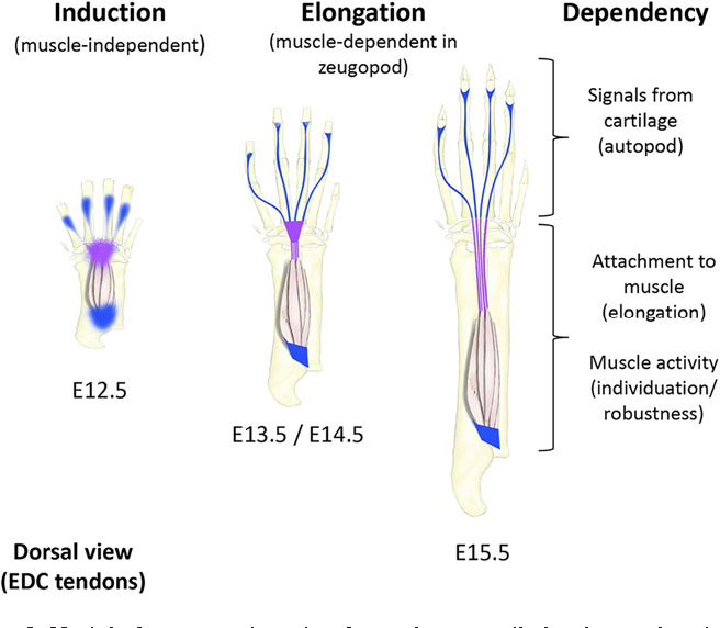 Figure 8 From Musculoskeletal Integration At The Wrist Underlies The