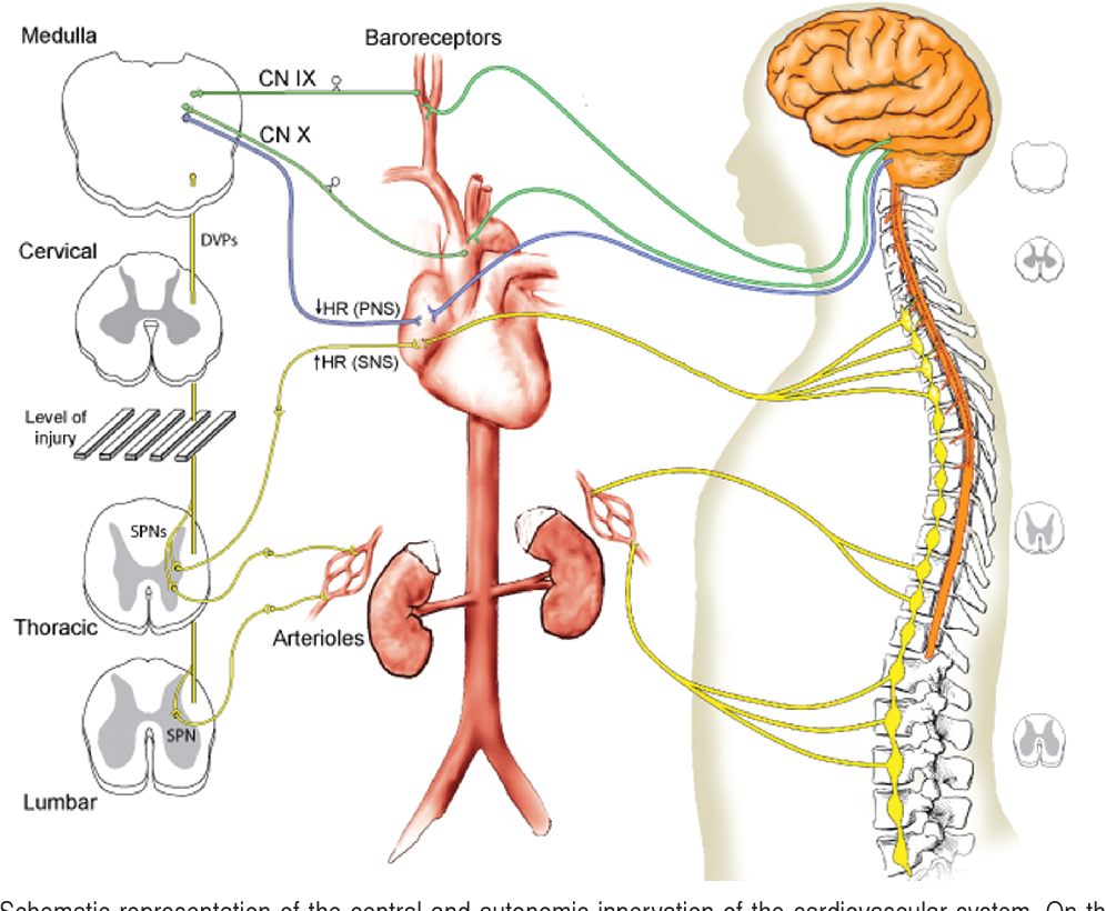 Cardiovascular Complications After Acute Spinal Cord Injury