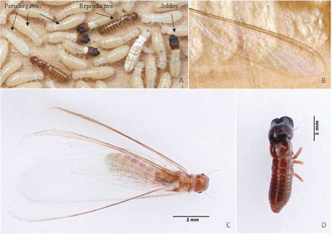 Figure 1 from Termites (Isoptera) in the Azores: an overview