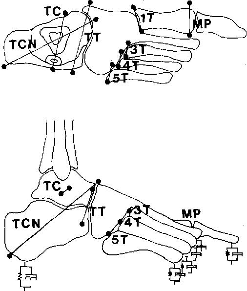 Biomechanical Model Of The Human Foot Kinematics And Kinetics