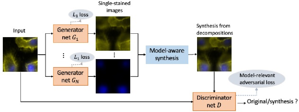 Figure 1 for Blind stain separation using model-aware generative learning and its applications on fluorescence microscopy images