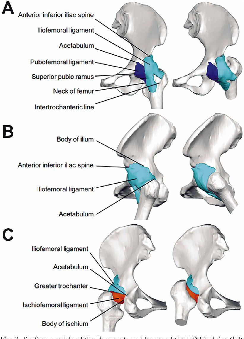 Hip Joint Ligaments , a Cadaver Imaging Study for Education ...