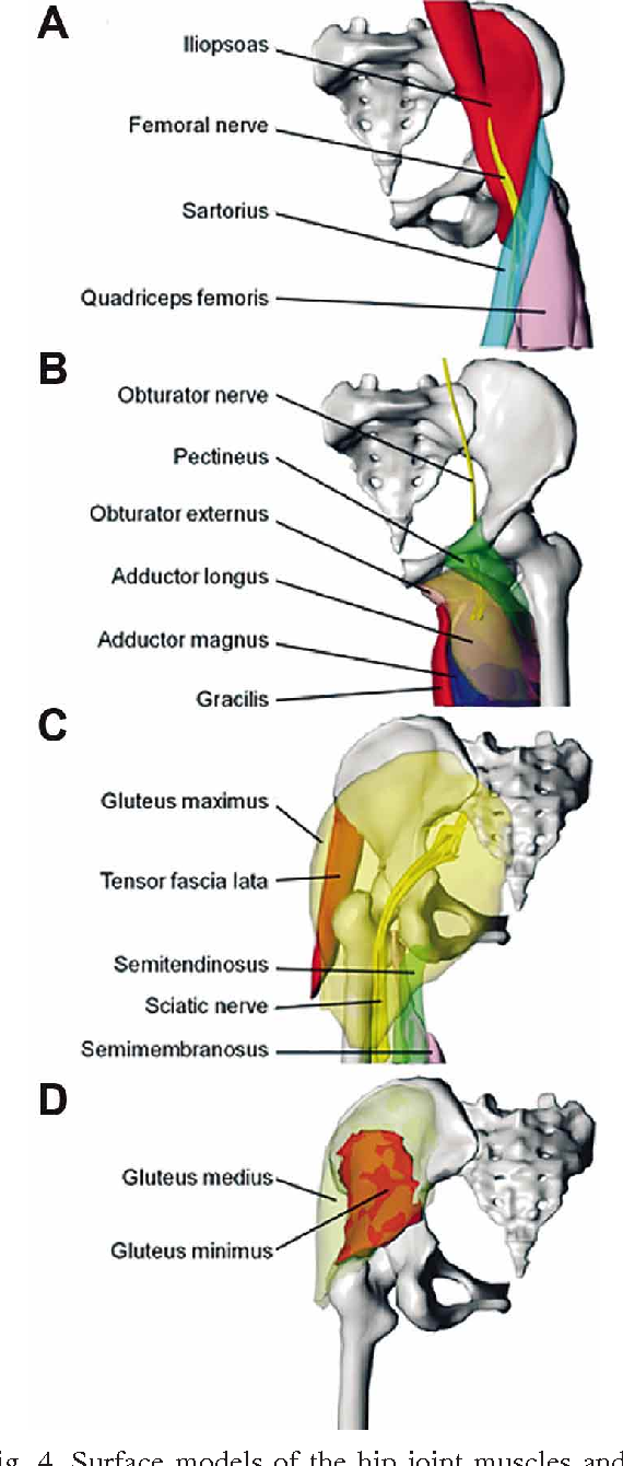 Hip Joint Ligaments A Cadaver Imaging Study For Education