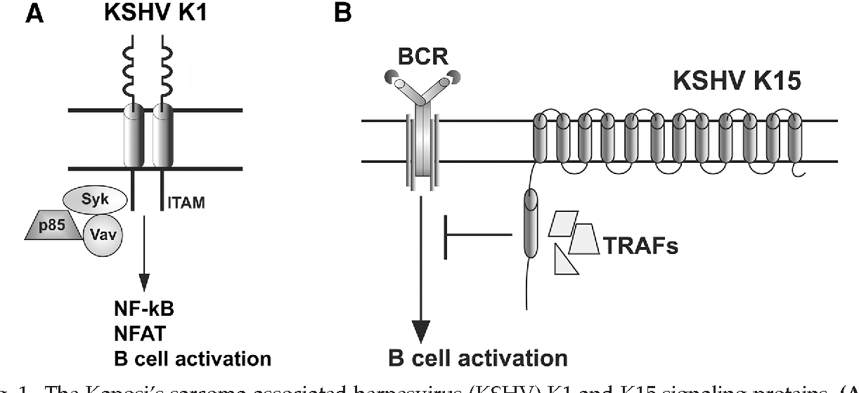 Figure 1 from modulation of cell signaling pathways by kaposis figure 1 ccuart Choice Image