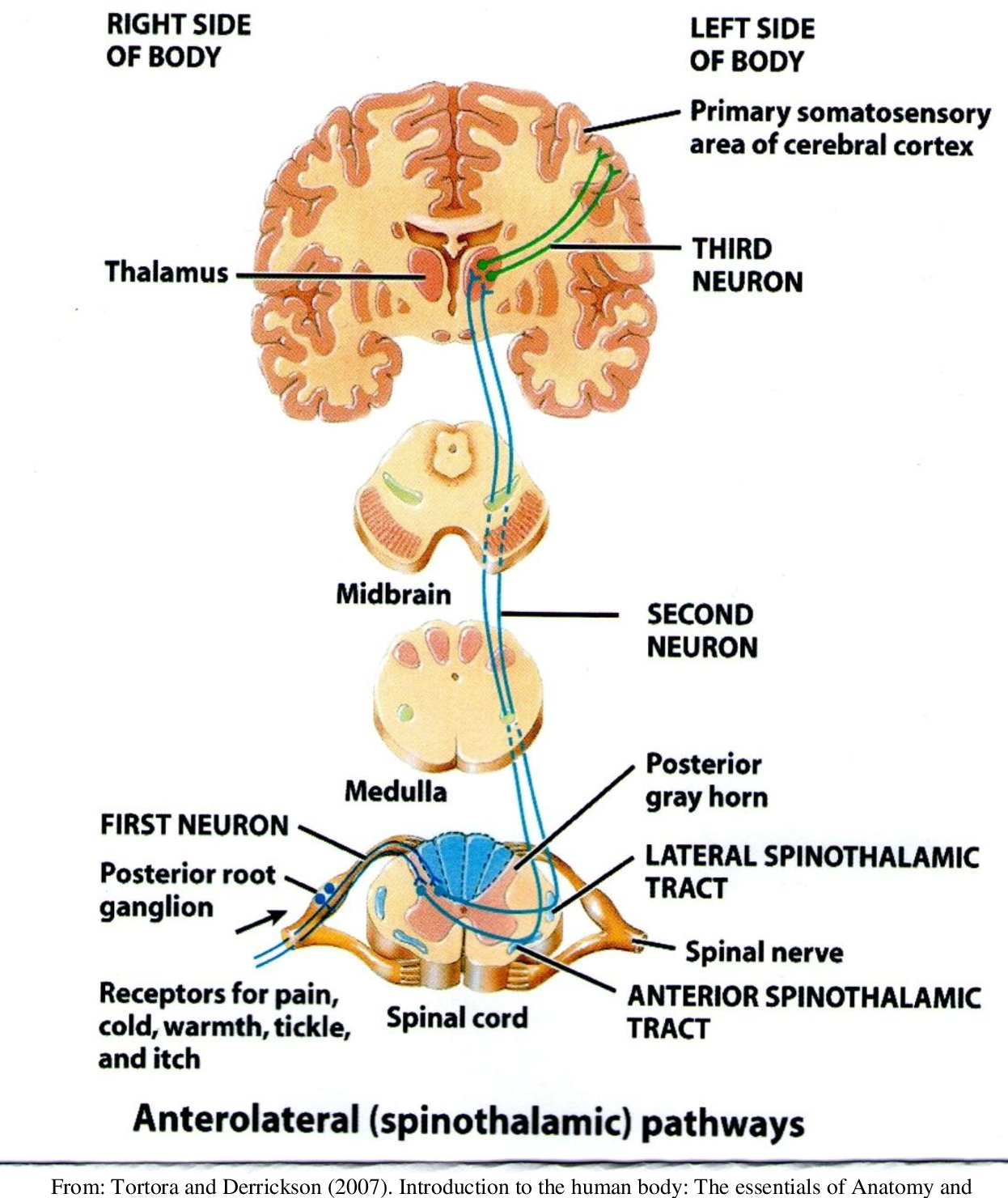PDF] Pain in multiple sclerosis - Semantic Scholar