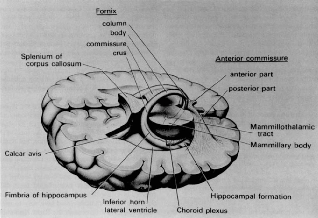 Figure 1 from Hippocampus minor and man\'s place in nature: a case ...