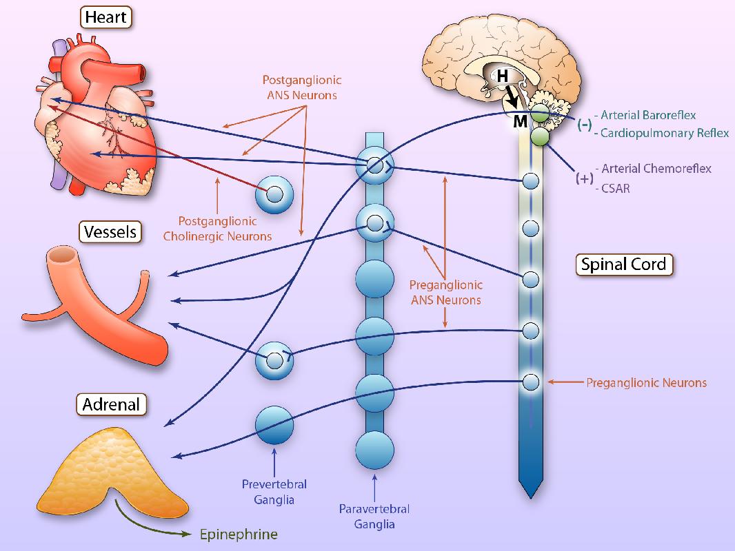 Image result for adrenergic nervous system