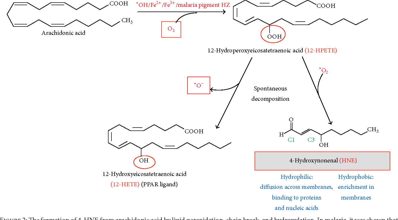 Role of the lipoperoxidation product 4 hydroxynonenal in the figure 2 pooptronica Image collections