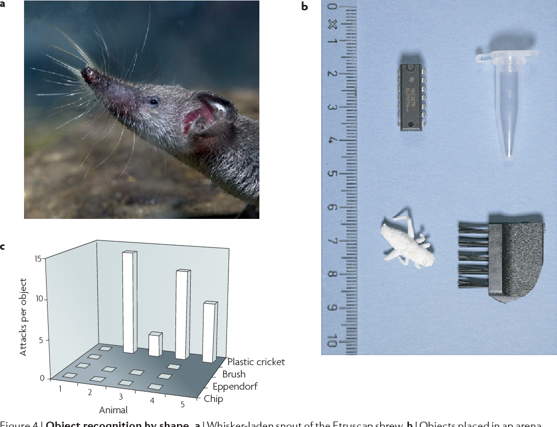 Figure 4 From Where And What In The Whisker Sensorimotor System How To Build Nocturnal Animals Object Recognition By Shape A Laden Snout Of