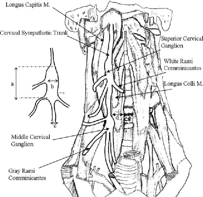 Surgical Anatomy Of The Cervical Sympathetic Trunk During