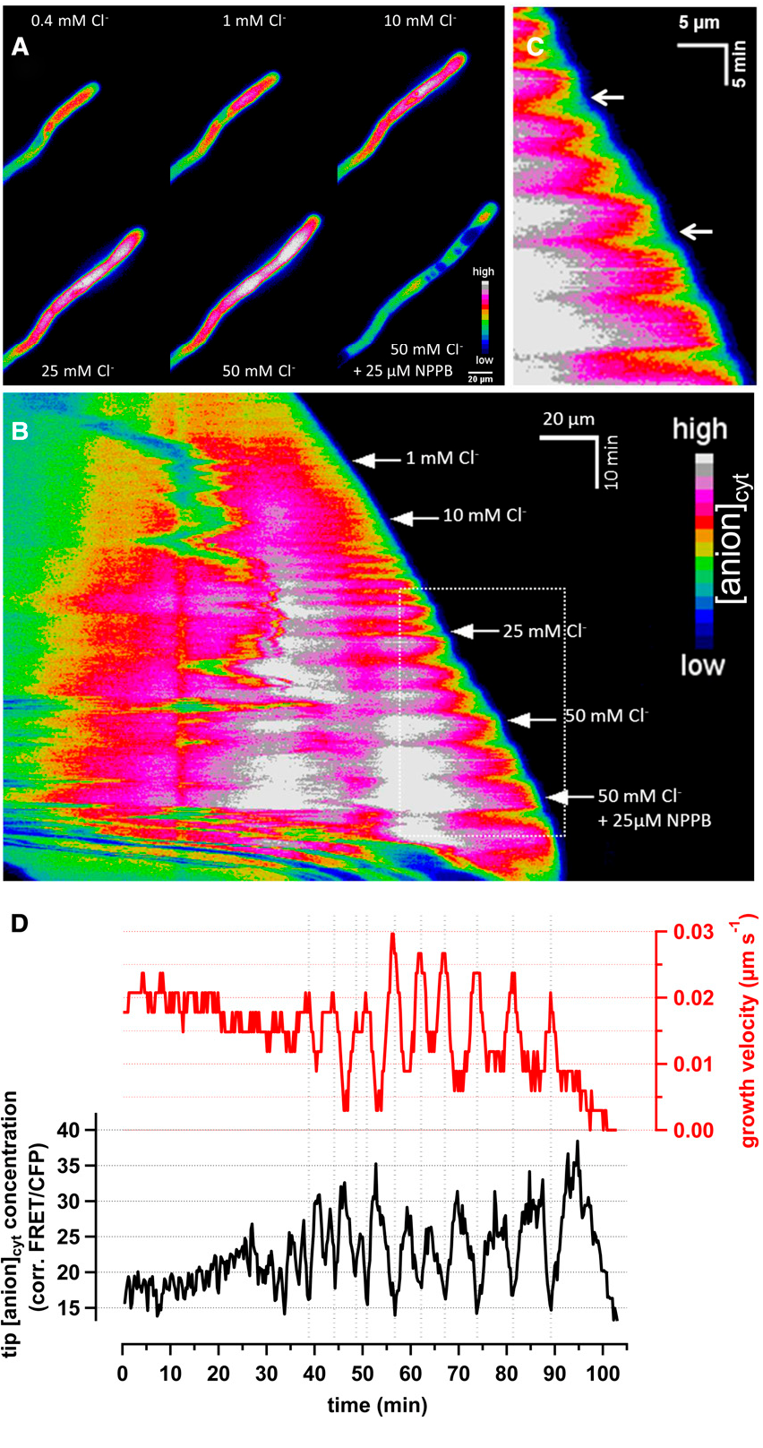 Figure 1. Spectroscopic Detection of a Cytosolic Chloride Gradient in Pollen Tubes.